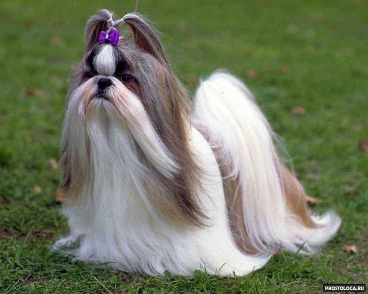 гипоаллергенные породы собак 2