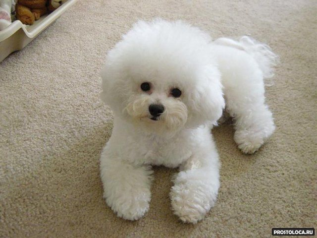гипоаллергенные породы собак 3
