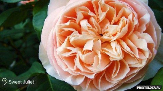 роза сладкая джульета