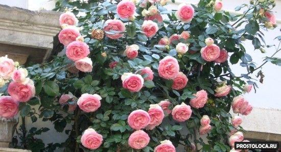 эдэн роуз